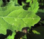 Gartenmelde Blatt gruen rot Atriplex hortensis 13