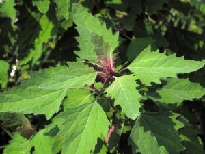 Gartenmelde Blatt gruen rot Atriplex hortensis 17
