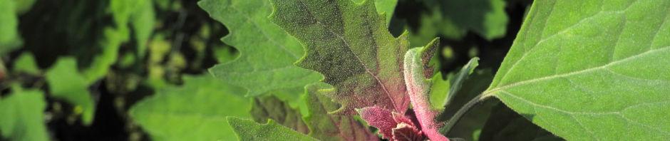 gartenmelde-blatt-gruen-rot-atriplex-hortensis