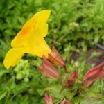 Gauklerblume Bluete gelb Mimulus hybride 02