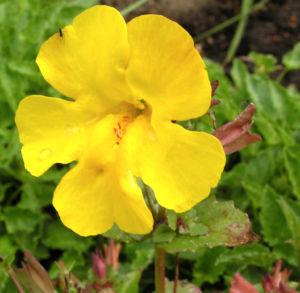 Gauklerblume Bluete gelb Mimulus hybride 04