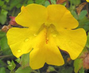 Gauklerblume Bluete gelb Mimulus hybride 05
