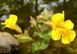 Gauklerblume Bluete gelb Mimulus hybride 06