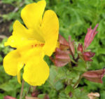 Gauklerblume Bluete gelb Mimulus hybride 07