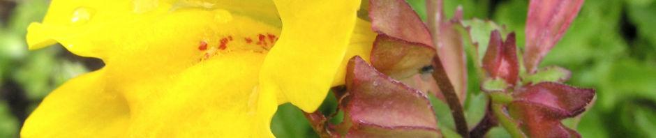 gauklerblume-bluete-gelb-mimulus-hybride