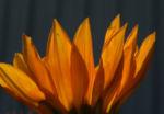 Bild: Gazanie Mittagsgold Blüte orange Gazania rigens