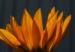 Zurück zum kompletten Bilderset Gazanie Mittagsgold Blüte orange Gazania rigens