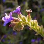 Gebraeuchliche Ochsenzunge Bluete blau Anchusa officinalis 01