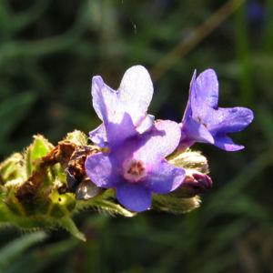 Gebraeuchliche Ochsenzunge Bluete blau Anchusa officinalis 02