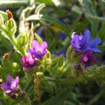 Gebraeuchliche Ochsenzunge Bluete blau Anchusa officinalis 04