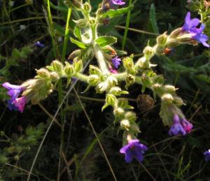 Gebraeuchliche Ochsenzunge Bluete blau Anchusa officinalis 06