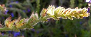 Gebraeuchliche Ochsenzunge Bluete blau Anchusa officinalis 09