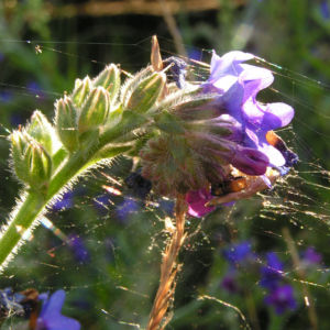 Gebraeuchliche Ochsenzunge Bluete blau Anchusa officinalis 10