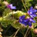 Zurück zum kompletten Bilderset Gemeine Ochsenzunge Blüte blau Anchusa officinalis