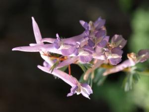 Gefingerter Lerchensporn Bluete lila Corydalis solida 01