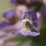 Gefingerter Lerchensporn Bluete lila Corydalis solida 02