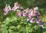 Gefingerter Lerchensporn Bluete lila Corydalis solida 06