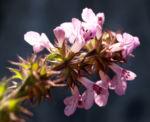 Gefleckte Taubnessel Bluete rosa Lamium maculatum 03