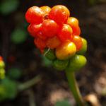 Bild: Gefleckter Aronstab Frucht rot grün Arum maculatum