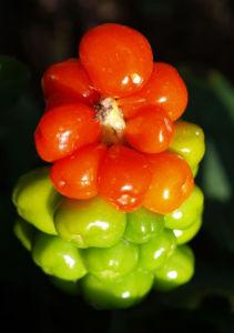 Bild: Gefleckter Aronstab Frucht rot gruen Arum maculatum