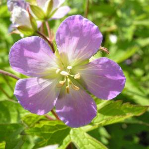 Gefleckter Storchschnabel Bluete hellblau Geranium maculatum 01