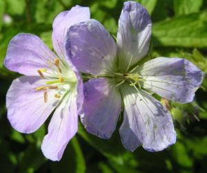Gefleckter Storchschnabel Bluete hellblau Geranium maculatum 04