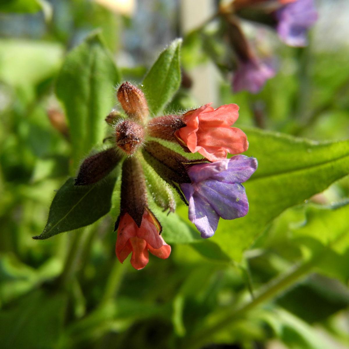 Geflecktes Lungenkraut Bluete blau pink Pulmonaria officinalis