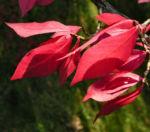 Gefluegelter Spindelbaum Herbstblatt rot Euonymus alata 01