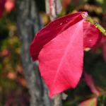 Gefluegelter Spindelbaum Herbstblatt rot Euonymus alata 03