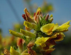 Geissklee Bluete gelb orange Cytisus leiocarpus 08