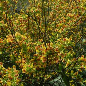 Geissklee Bluete gelb orange Cytisus leiocarpus 12