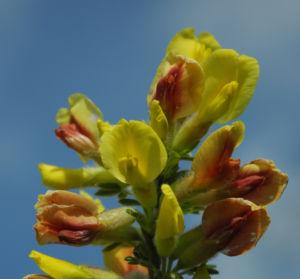Geissklee Bluete gelb orange Cytisus leiocarpus 13