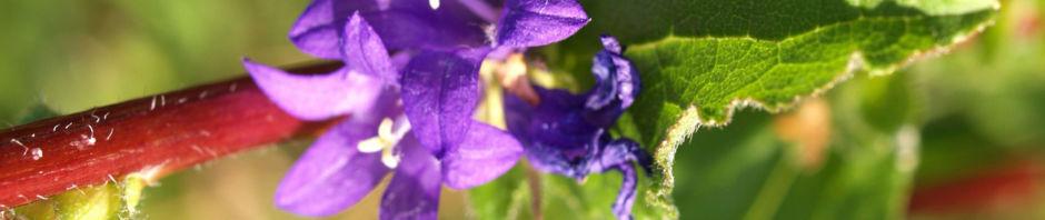 Anklicken um das ganze Bild zu sehen  Knäul-Glockenblume Blüte blau Campanula glomerata