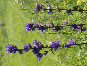 Geknaeuelte Glockenblume Bluete blau Campanula glomerata 03