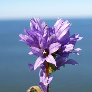 Geknaeuelte Glockenblume Bluete blau Campanula glomerata 05