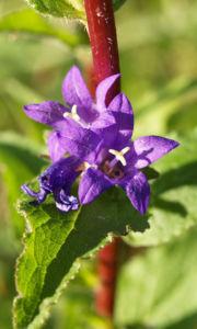 Geknaeuelte Glockenblume Bluete blau Campanula glomerata 06