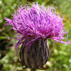 Gekroente Scharte Bluete lila Serratula coronata 04