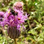 Gekroente Scharte Bluete lila Serratula coronata 06