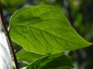 Gelbbluehende Heckenkirsche Blatt gruen Lonicera chrysantha 02