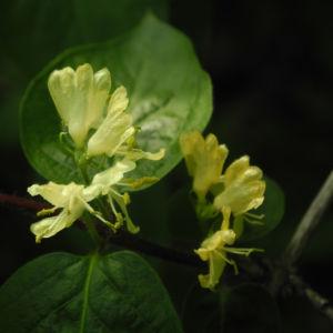 Gelbbluehende Heckenkirsche Bluete gelb Lonicera chrysantha 03
