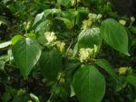 Gelbbluehende Heckenkirsche Bluete gelb Lonicera chrysantha 04