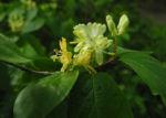 Gelbbluehende Heckenkirsche Bluete gelb Lonicera chrysantha 05