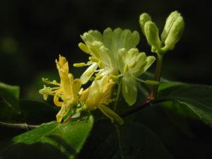 Gelbbluehende Heckenkirsche Bluete gelb Lonicera chrysantha 06