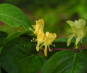 Gelbbluehende Heckenkirsche Bluete gelb Lonicera chrysantha 07