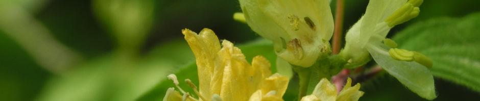gelbbluehende-heckenkirsche-bluete-gelb-lonicera-chrysantha