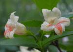 Gelbbluetige Weigelie Bluete gelb rosa Weigelia middendorfiana 06