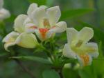 Gelbbluetige Weigelie Bluete gelb rosa Weigelia middendorfiana 09