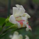 Gelbbluetige Weigelie Bluete gelb rosa Weigelia middendorfiana 10