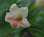 Gelbbluetige Weigelie Bluete gelb rosa Weigelia middendorfiana 16