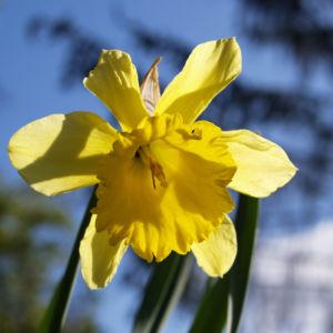 Gelbe Narzisse Bluete gelb Narcissus pseudonarcissus 01